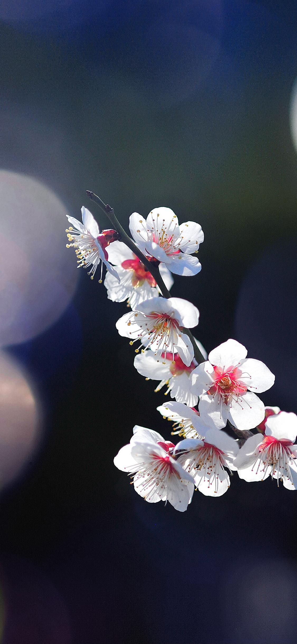 iPhoneXpapers.com-Apple-iPhone-wallpaper-mq24-spring-flower-sakura-nature-tree-flare-happy