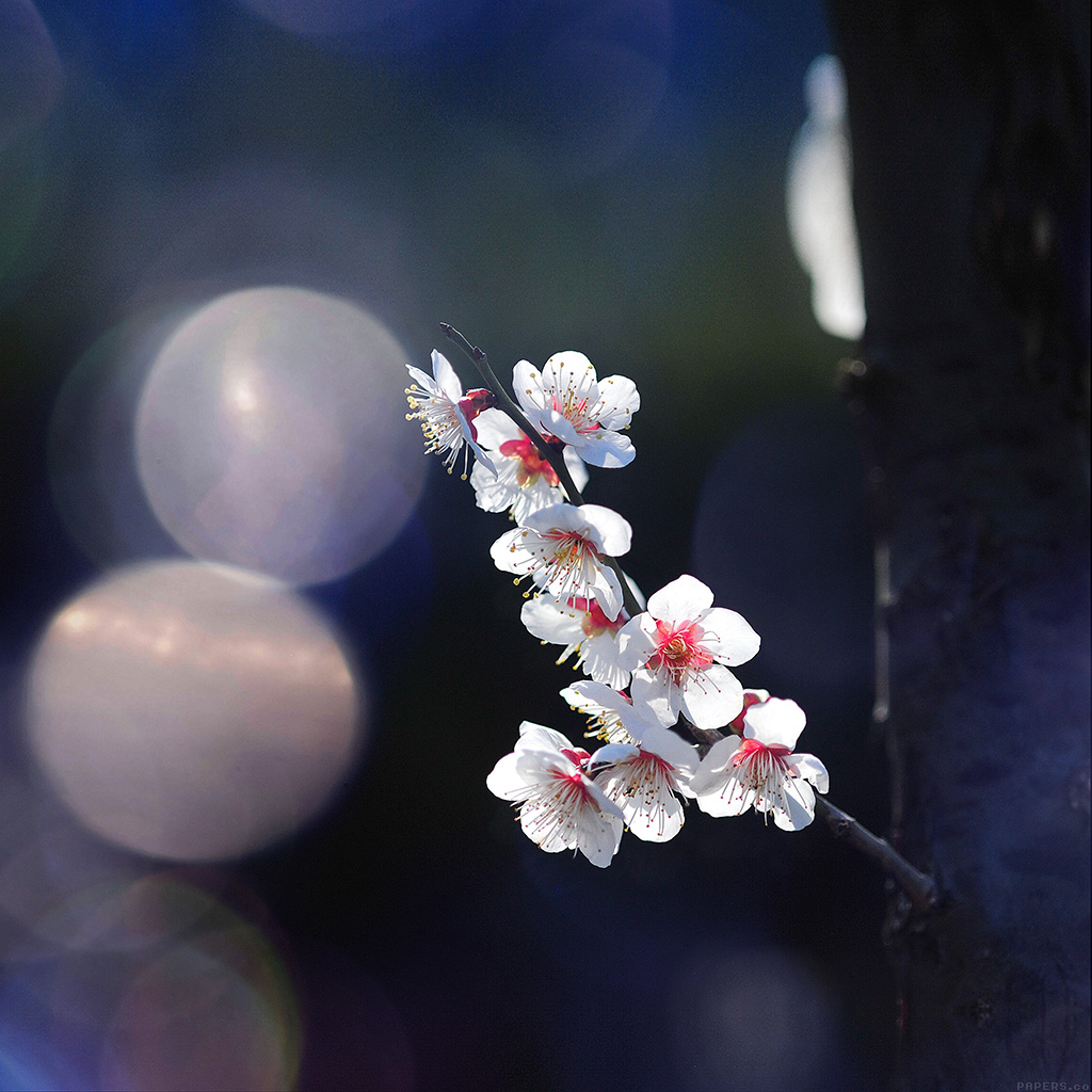 android-wallpaper-mq24-spring-flower-sakura-nature-tree-flare-happy-wallpaper