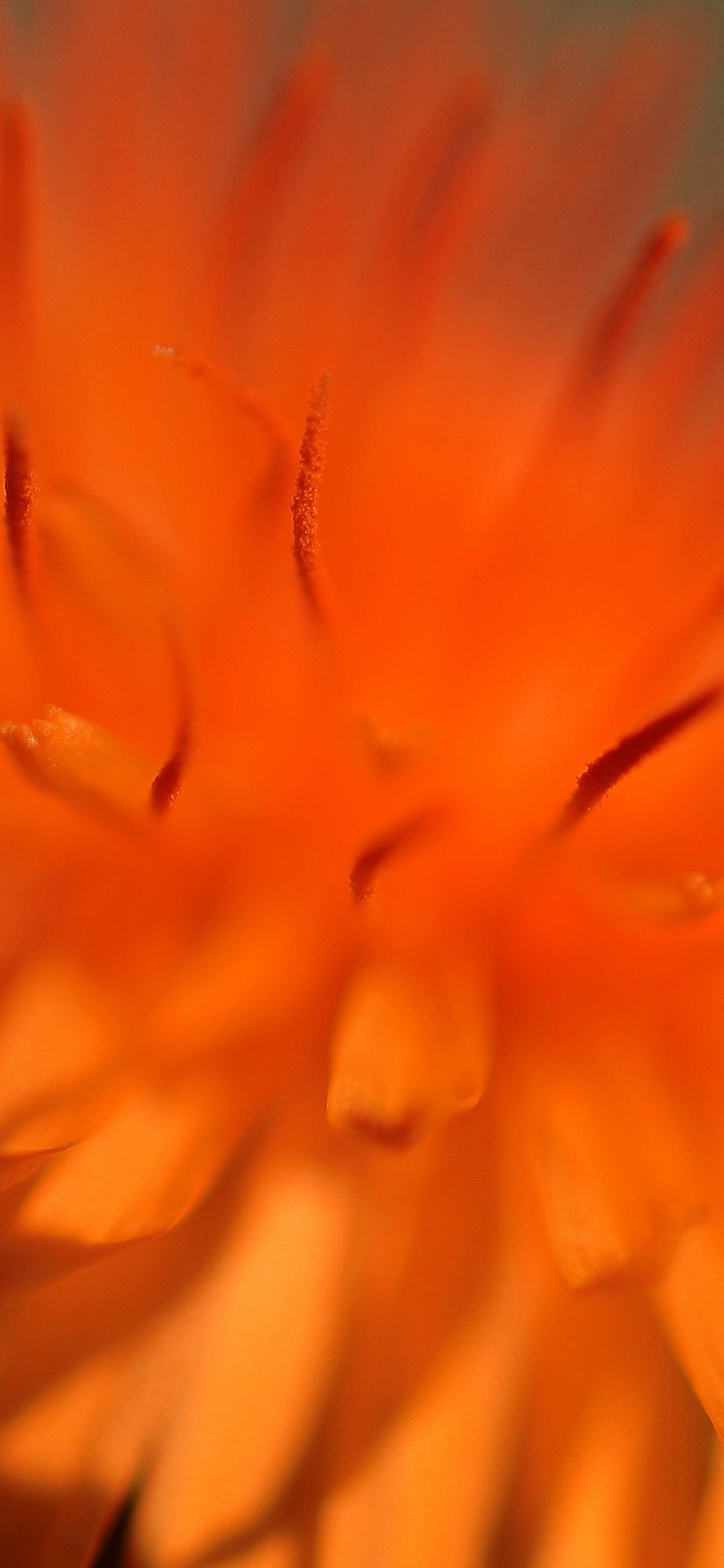 iPhonexpapers.com-Apple-iPhone-wallpaper-mq35-orange-flower-zoom-nature