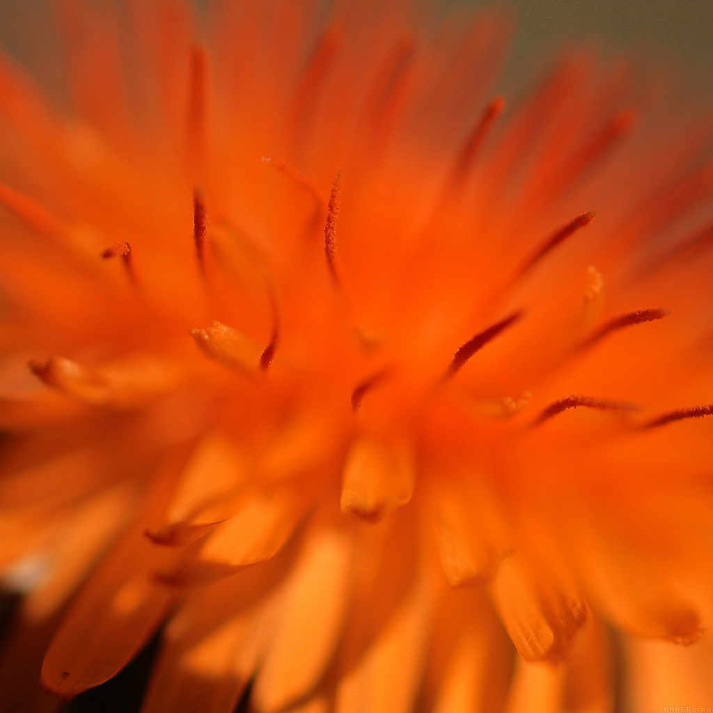 wallpaper-mq35-orange-flower-zoom-nature-wallpaper