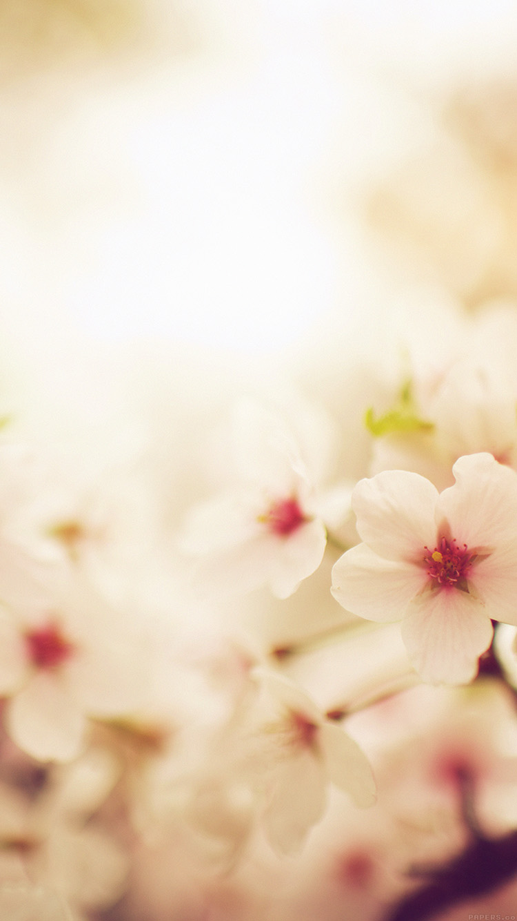 iPhone6papers.co-Apple-iPhone-6-iphone6-plus-wallpaper-mq76-blossom-cherry-spring-red-sakura-nature-flower