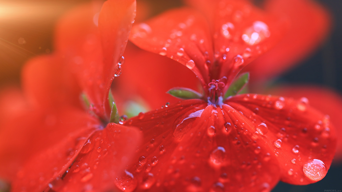 wallpaper-desktop-laptop-mac-macbook-mr31-spring-flower-party-red-nature-flare-wallpaper