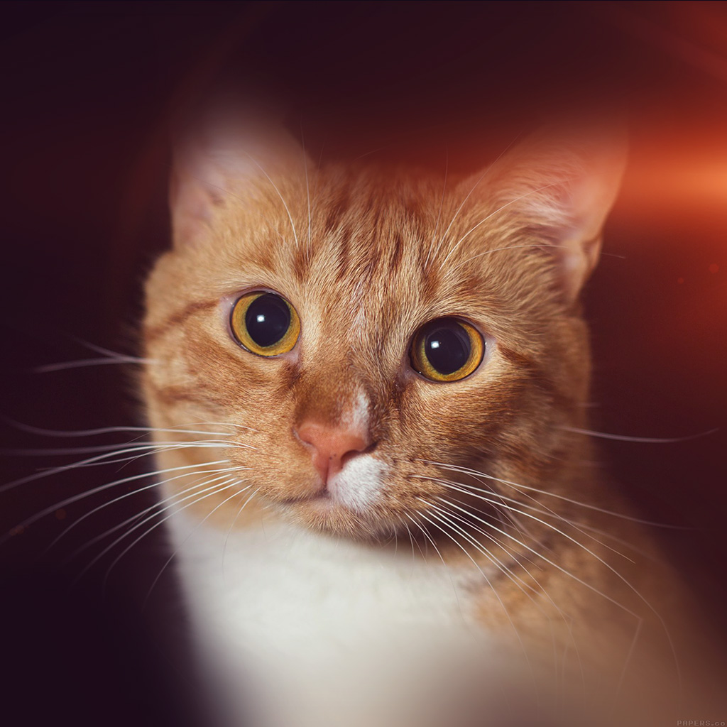 android-wallpaper-mr33-cat-face-eye-animal-cute-nature-flare-orange-wallpaper