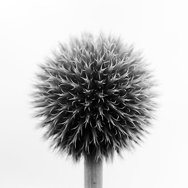 iPapers.co-Apple-iPhone-iPad-Macbook-iMac-wallpaper-mr72-ball-flower-circle-nature-bw-wallpaper