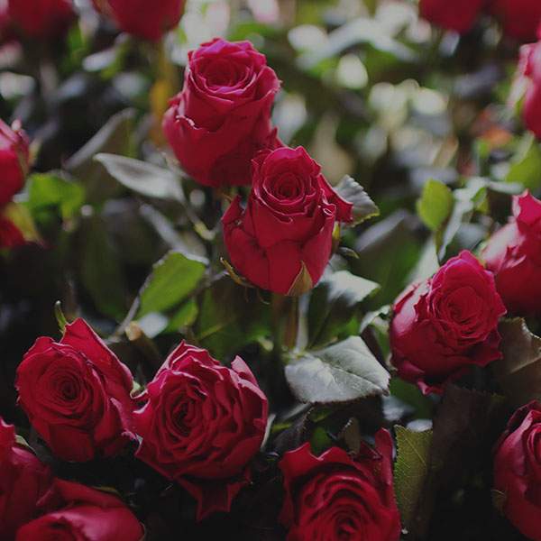 iPapers.co-Apple-iPhone-iPad-Macbook-iMac-wallpaper-ms45-rose-flower-gift-red-nature-dark-wallpaper