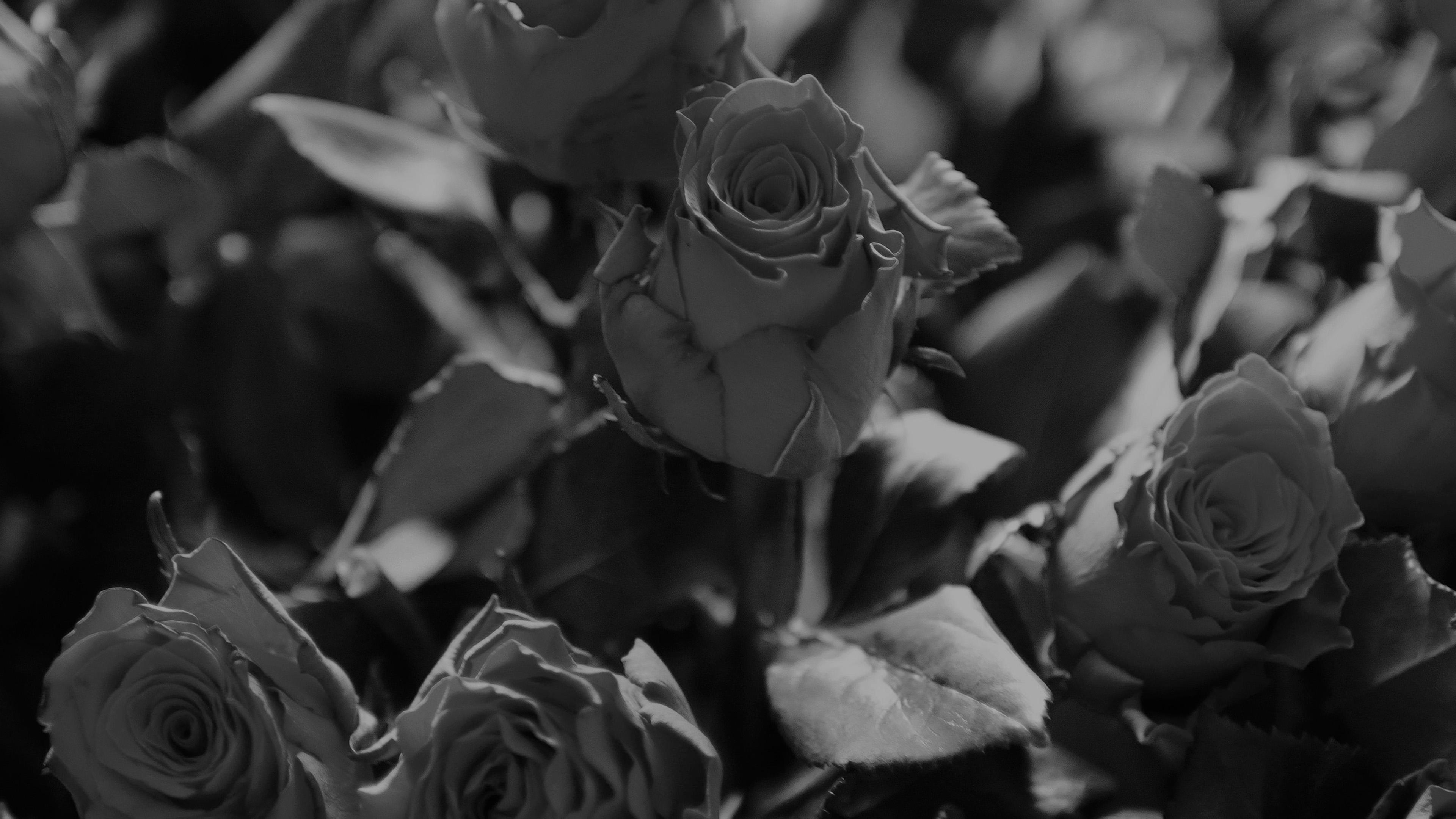 ms46-rose-flower-gift-red-nature-dark-bw-wallpaper