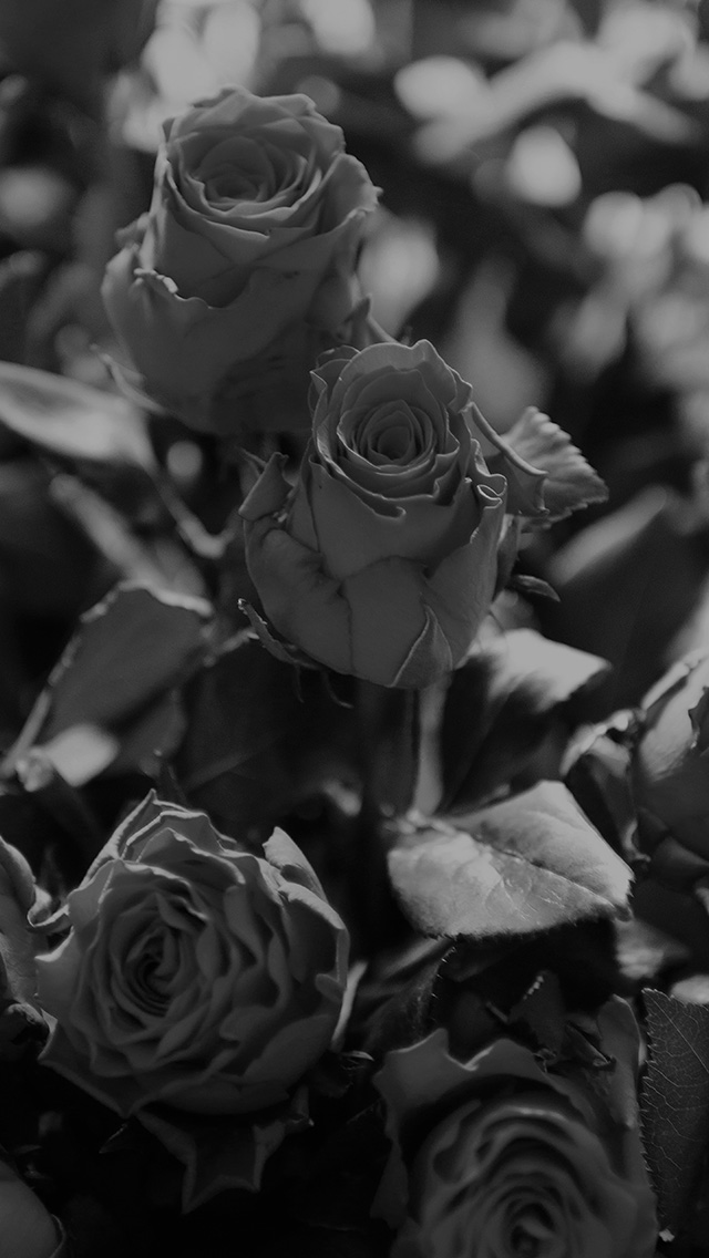 freeios8.com-iphone-4-5-6-plus-ipad-ios8-ms46-rose-flower-gift-red-nature-dark-bw