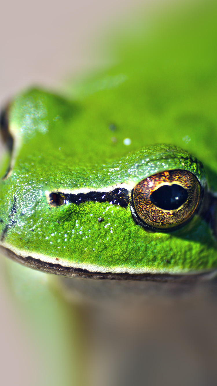 iPhone6papers.co-Apple-iPhone-6-iphone6-plus-wallpaper-ms78-eyes-frog-animal-lake-nature