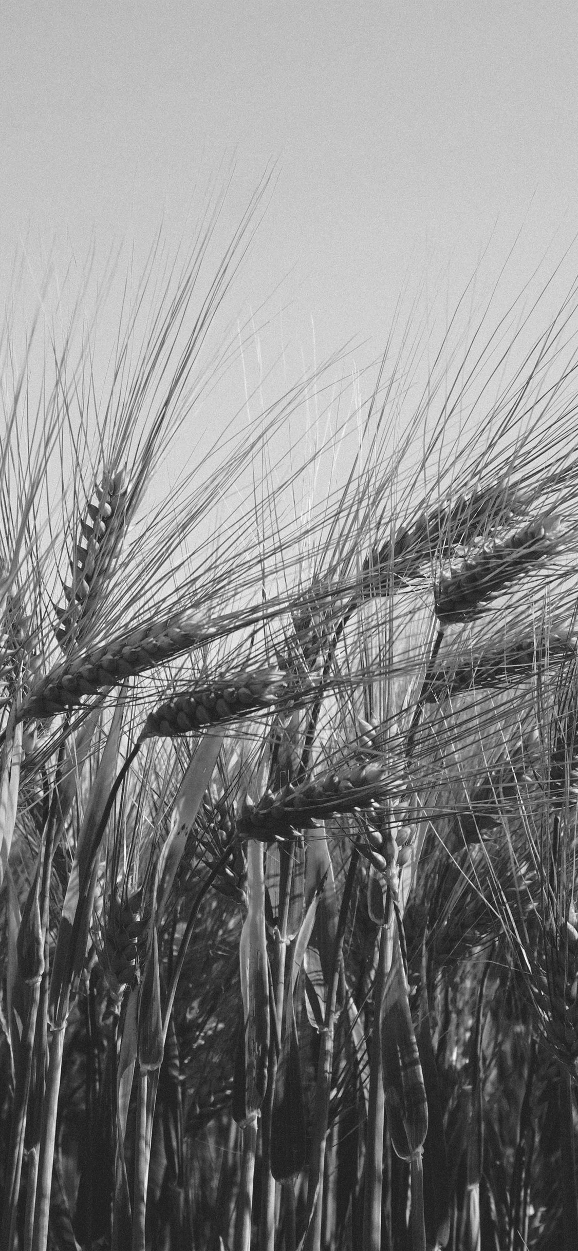 iPhoneXpapers.com-Apple-iPhone-wallpaper-mt06-flower-reed-food-nature-bw-dark