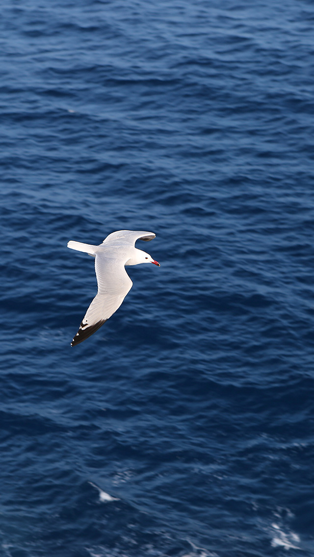 freeios8.com-iphone-4-5-6-plus-ipad-ios8-mt15-seagull-bird-sea-ocean-animal-nature