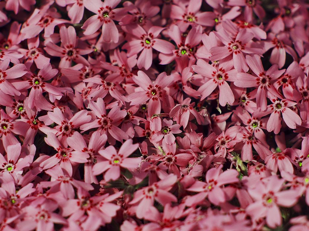 1366 x 768 - Flower wallpaper macbook ...