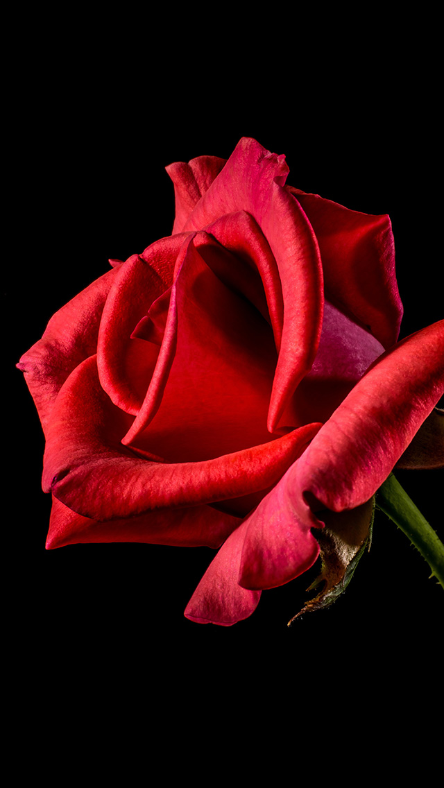 freeios8.com-iphone-4-5-6-plus-ipad-ios8-mt51-flower-rose-red-dark-beautiful-best-nature