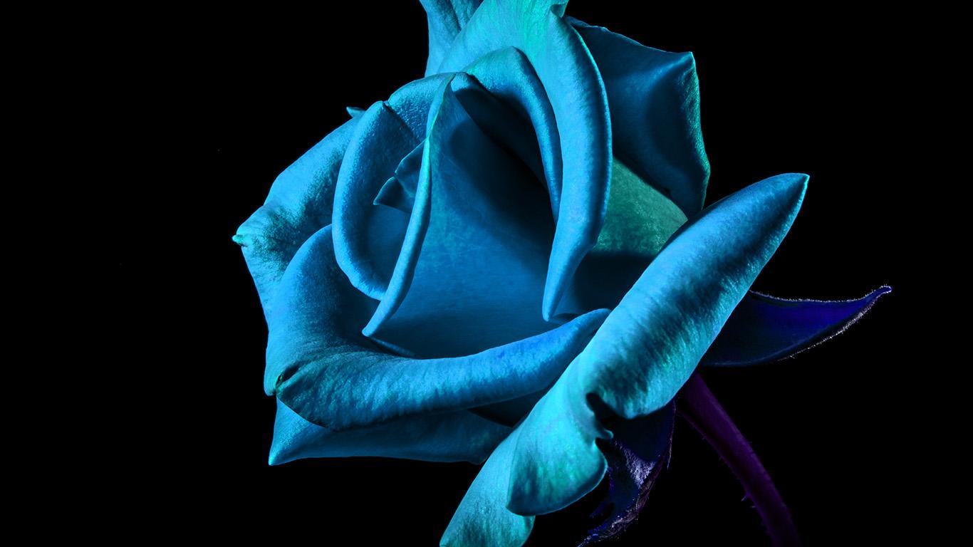 desktop-wallpaper-laptop-mac-macbook-air-mt52-flower-rose-blue-dark-beautiful-best-nature-wallpaper