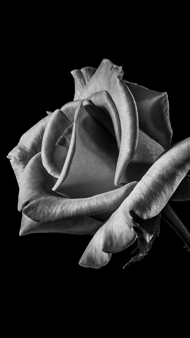 iPhonepapers.com-Apple-iPhone-wallpaper-mt53-flower-rose-bw-dark-beautiful-best-nature