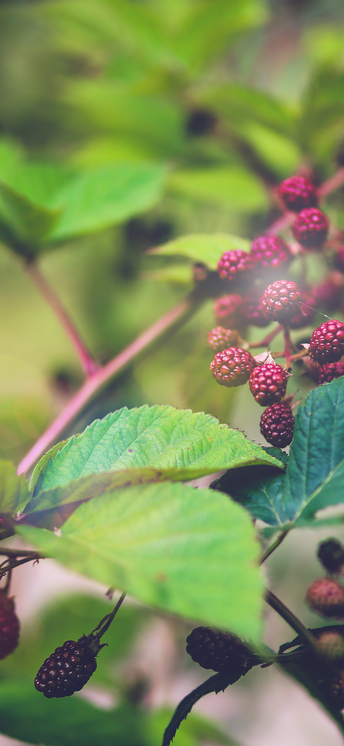iPhoneXpapers.com-Apple-iPhone-wallpaper-mt83-red-berry-bush-nature-flower-bokeh-light