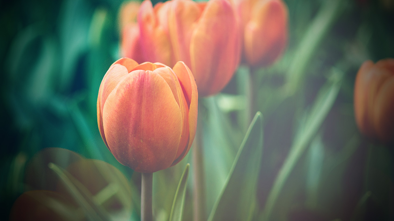 wallpaper-desktop-laptop-mac-macbook-mu00-flower-tulip-green-vignette-love-nature-wallpaper