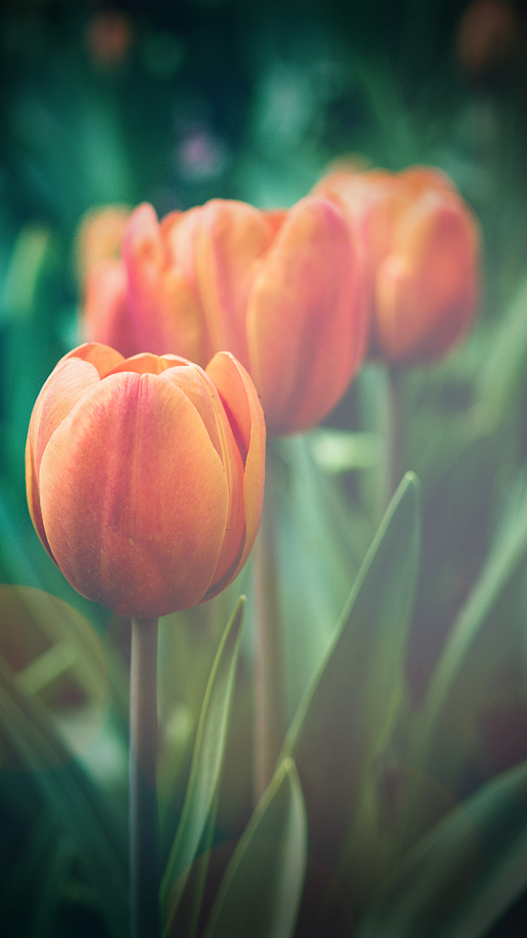 iPhonepapers.com-Apple-iPhone8-wallpaper-mu00-flower-tulip-green-vignette-love-nature