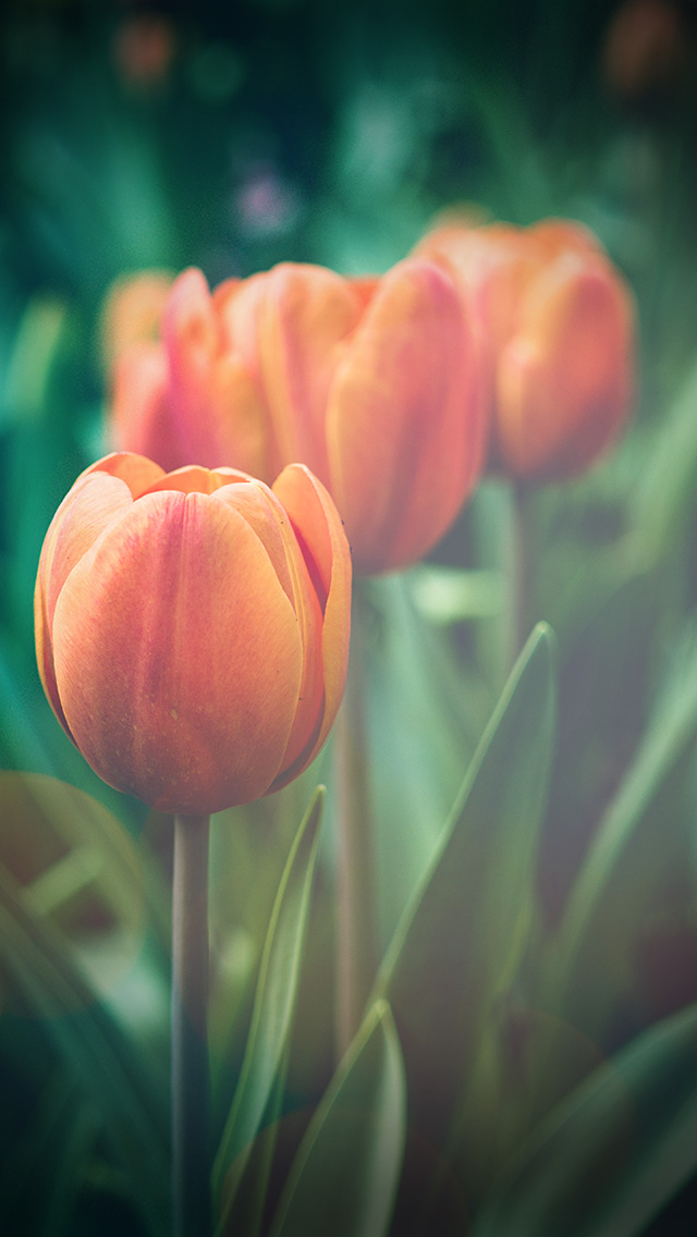 freeios8.com-iphone-4-5-6-plus-ipad-ios8-mu00-flower-tulip-green-vignette-love-nature