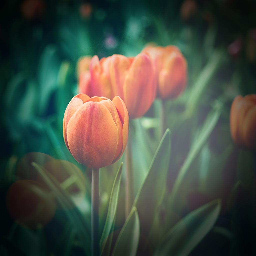 Tulip Wallpaper: Medium