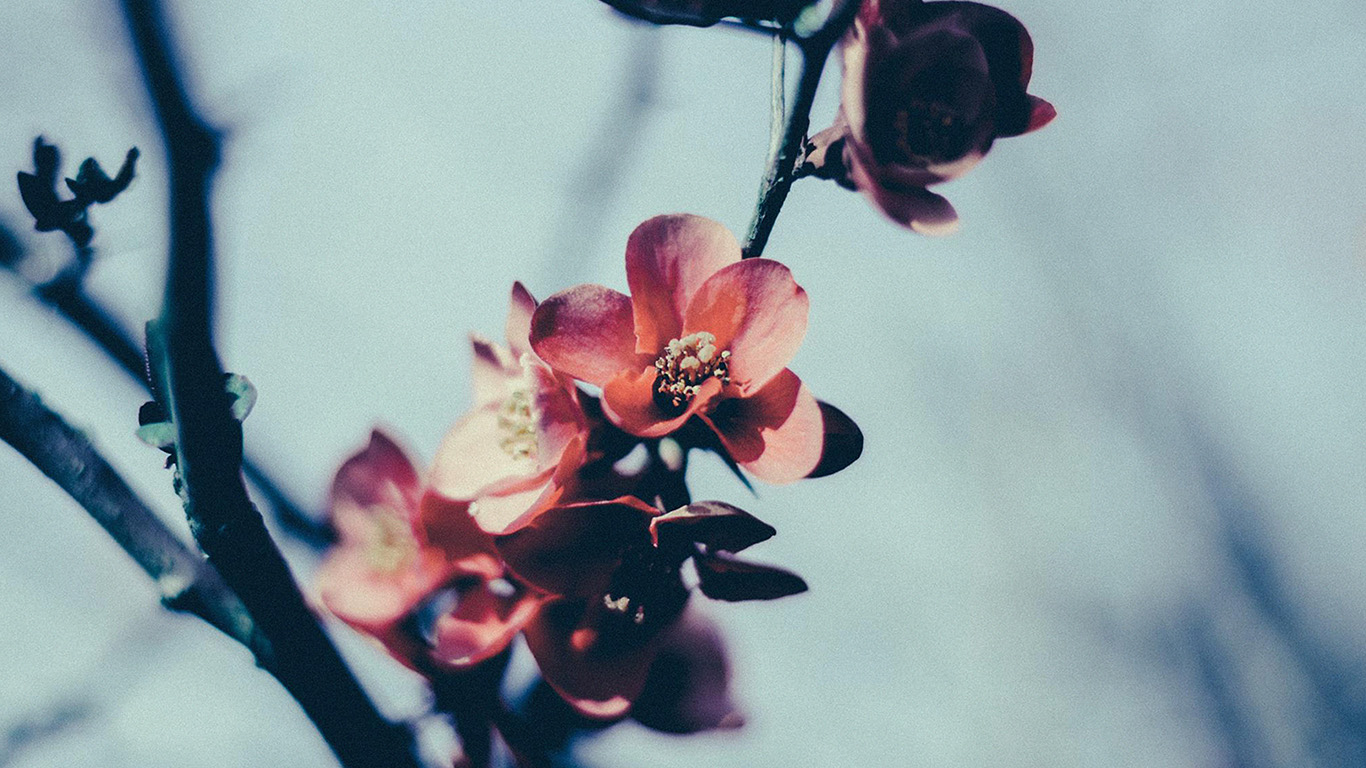 desktop-wallpaper-laptop-mac-macbook-airmu10-flower-nostalgia-tree-spring-blossom-nature-wallpaper