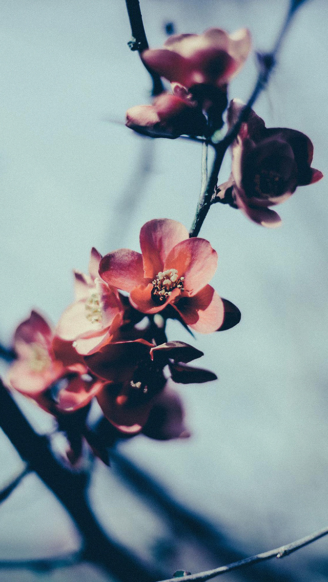 freeios8.com-iphone-4-5-6-plus-ipad-ios8-mu10-flower-nostalgia-tree-spring-blossom-nature