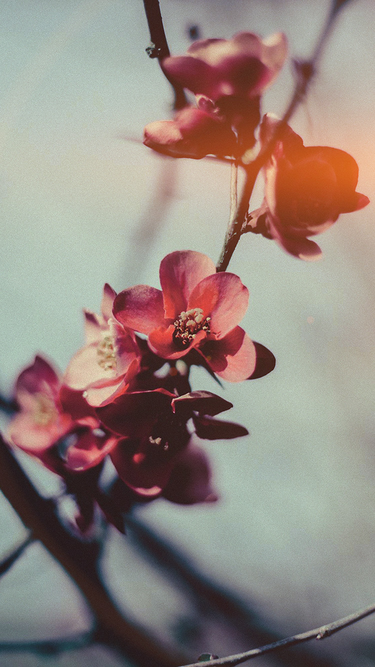 iPhone6papers.co-Apple-iPhone-6-iphone6-plus-wallpaper-mu11-flower-nostalgia-tree-spring-blossom-nature-flare