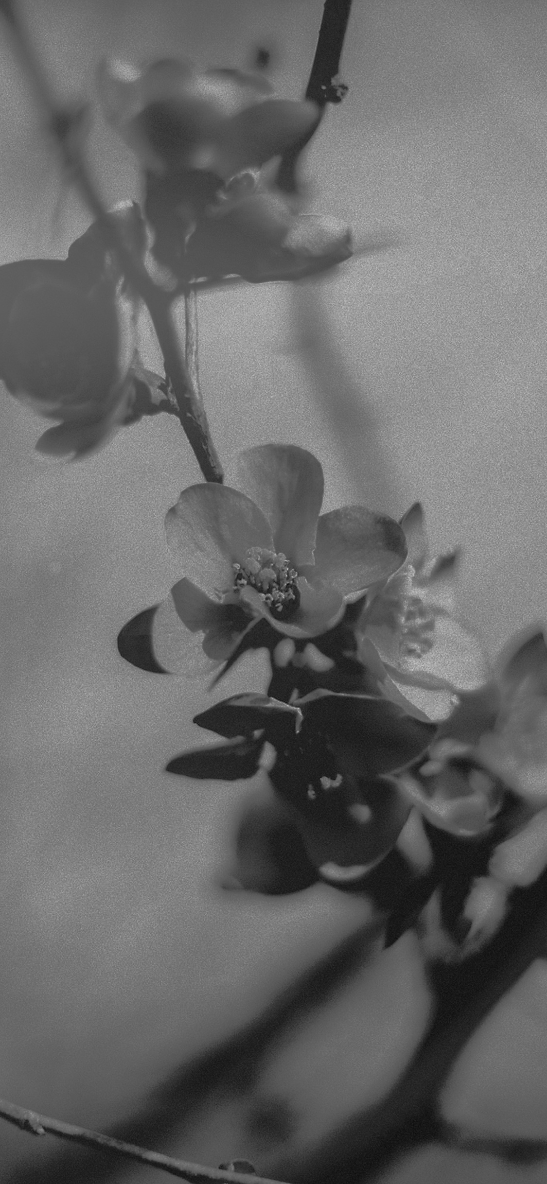 iPhoneXpapers.com-Apple-iPhone-wallpaper-mu12-flower-nostalgia-tree-spring-blossom-nature-bw-dark