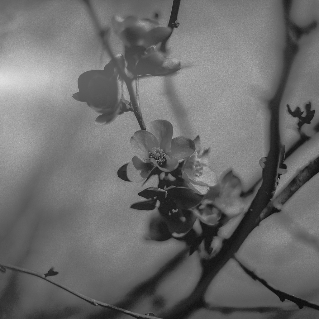wallpaper-mu12-flower-nostalgia-tree-spring-blossom-nature-bw-dark-wallpaper