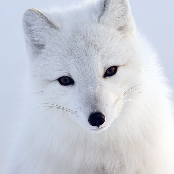 iPapers.co-Apple-iPhone-iPad-Macbook-iMac-wallpaper-mu16-artic-fox-white-animal-cute-wallpaper