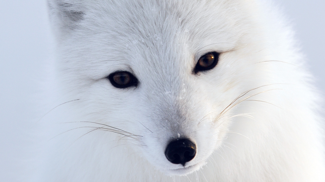 desktop-wallpaper-laptop-mac-macbook-airmu16-artic-fox-white-animal-cute-wallpaper