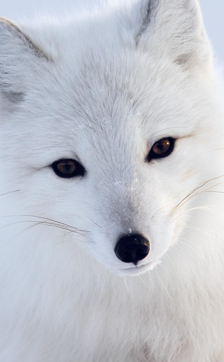 Mu16 Artic Fox White Animal Cute Papers Co