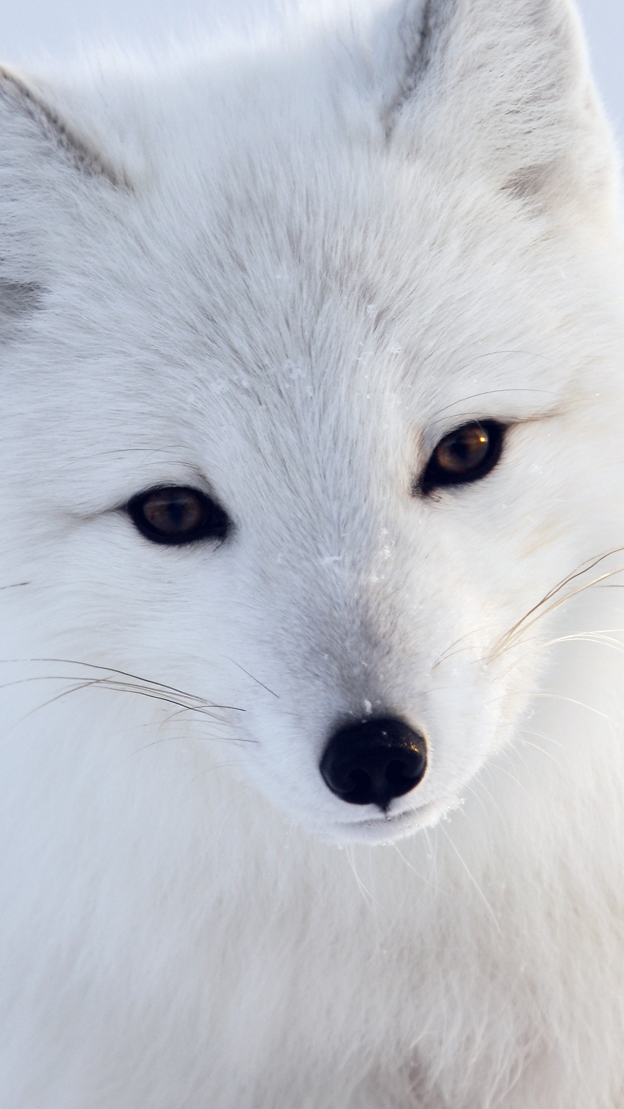 Iphone6papers Mu16 Artic Fox White Animal Cute