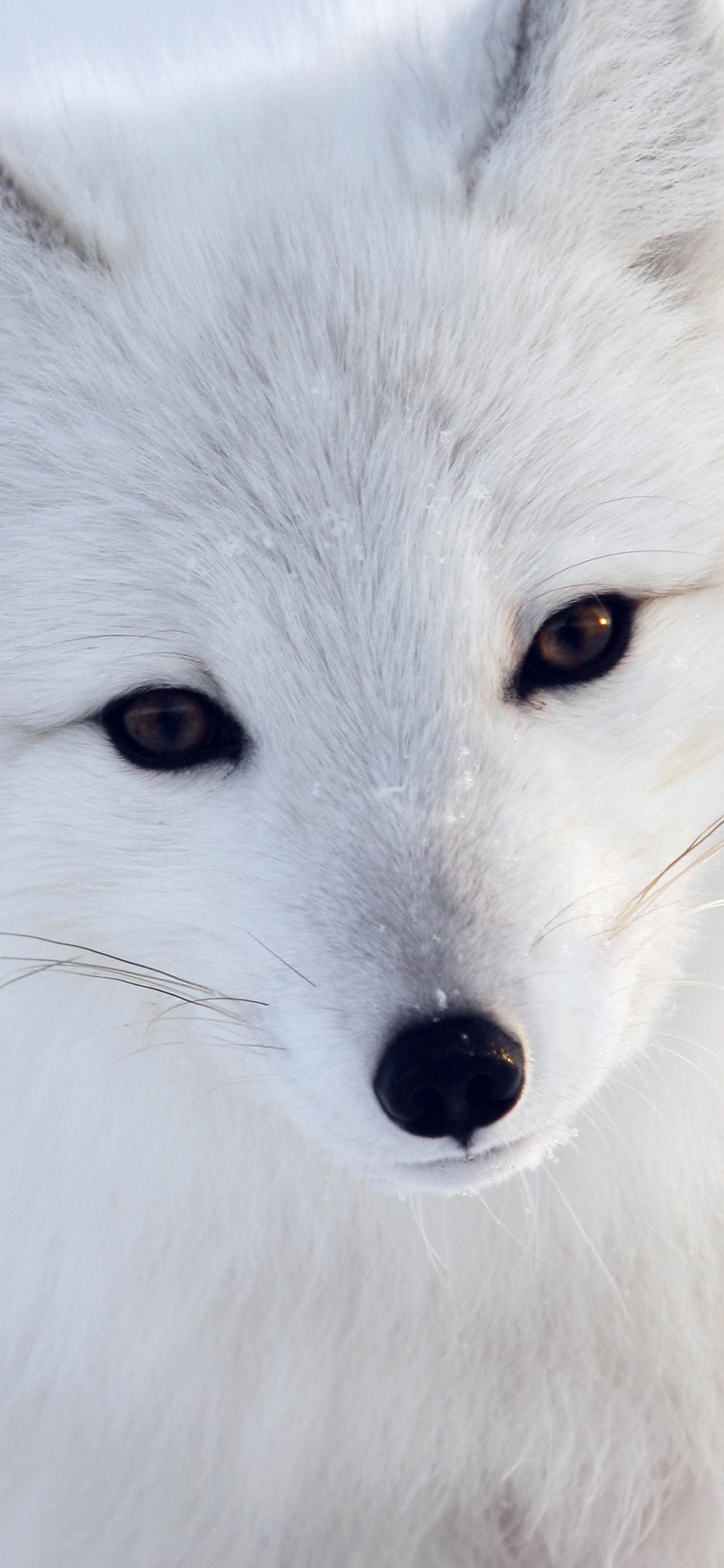iPhoneXpapers.com-Apple-iPhone-wallpaper-mu16-artic-fox-white-animal-cute