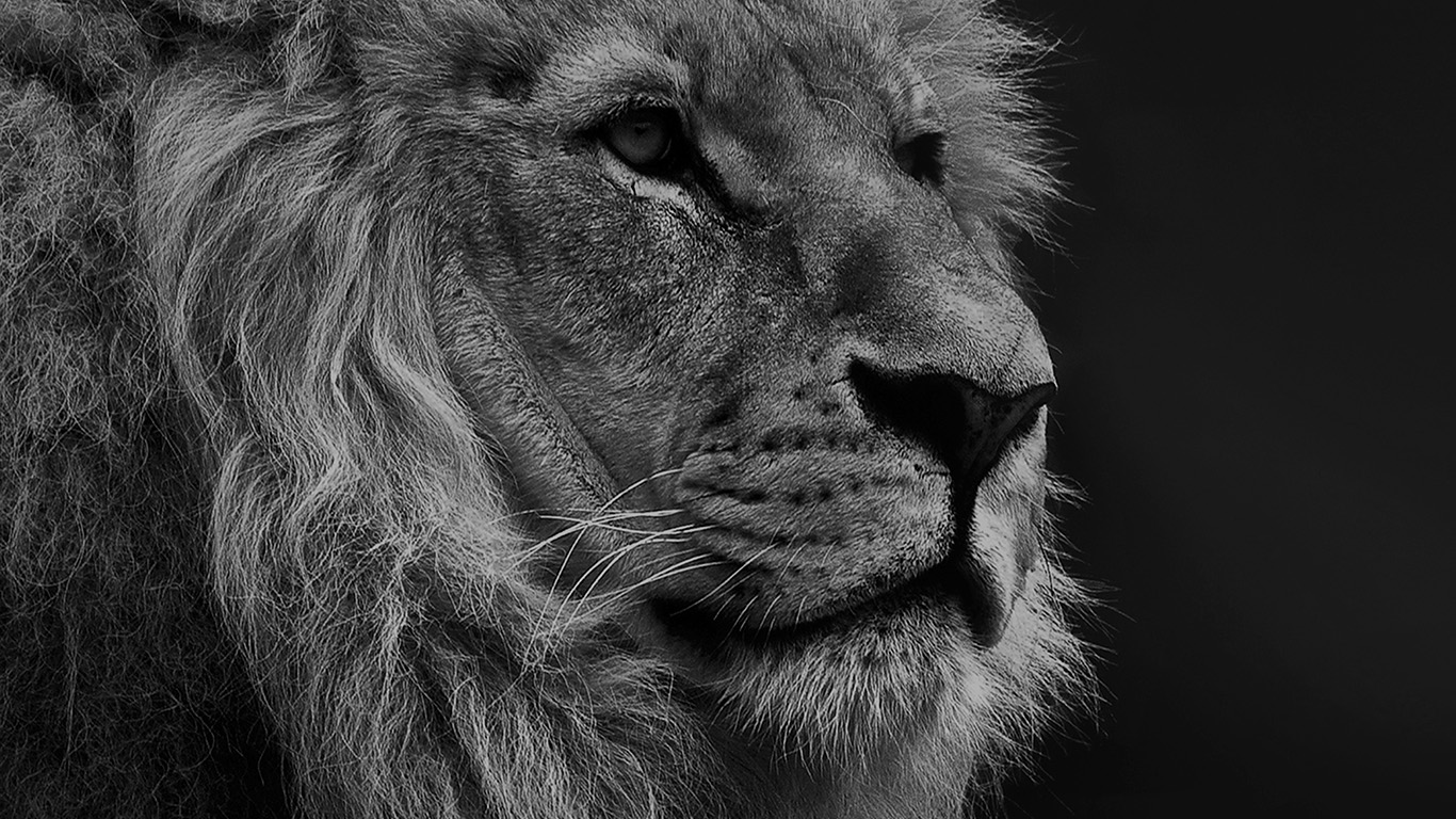 desktop-wallpaper-laptop-mac-macbook-airmu48-national-geographic-nature-animal-lion-dark-bw-wallpaper
