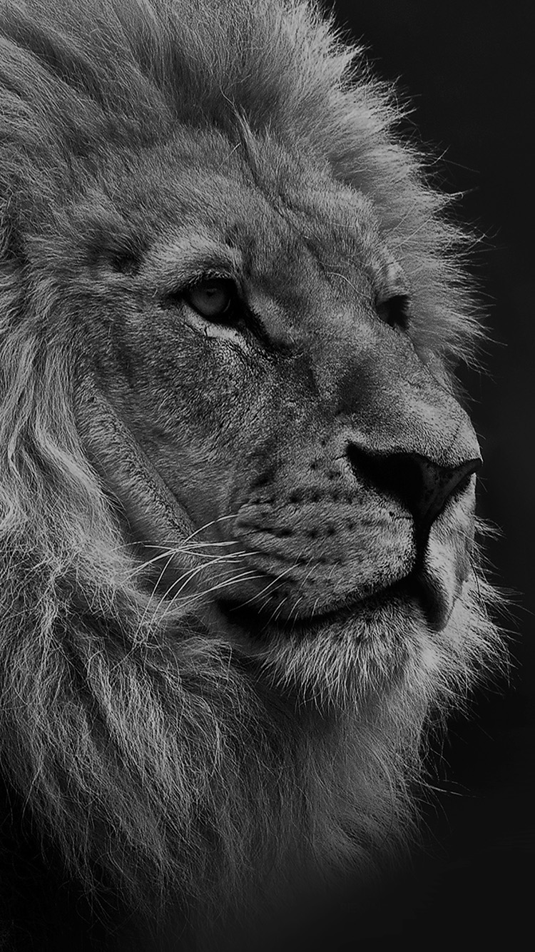 iPhone6papers.co-Apple-iPhone-6-iphone6-plus-wallpaper-mu48-national-geographic-nature-animal-lion-dark-bw