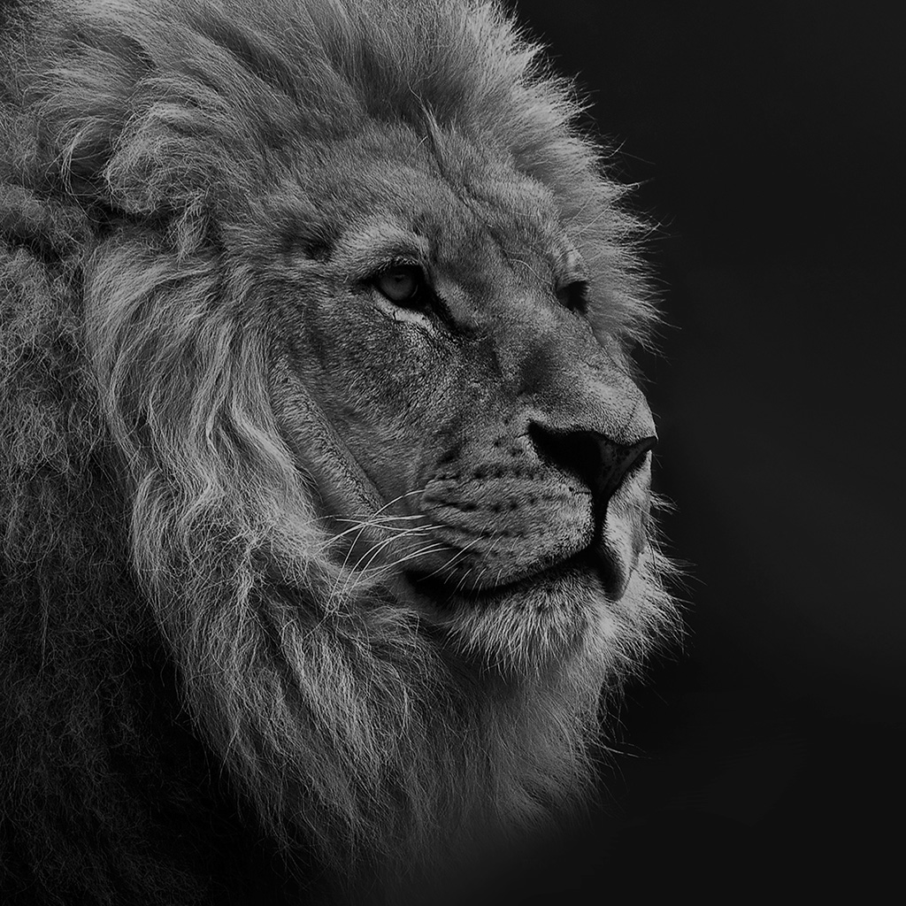 android-wallpaper-mu48-national-geographic-nature-animal-lion-dark-bw-wallpaper