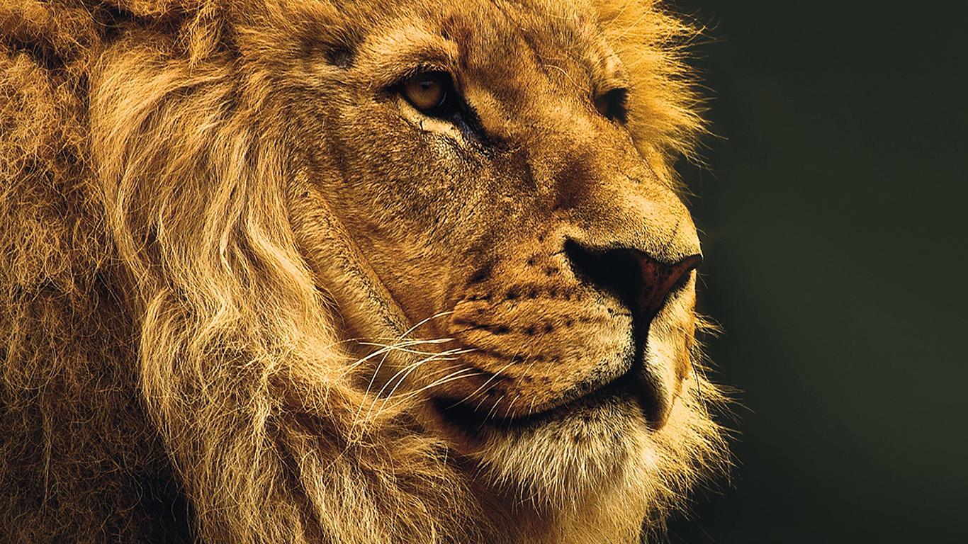 Mu49 National Geographic Nature Animal Lion Yellow Wallpaper