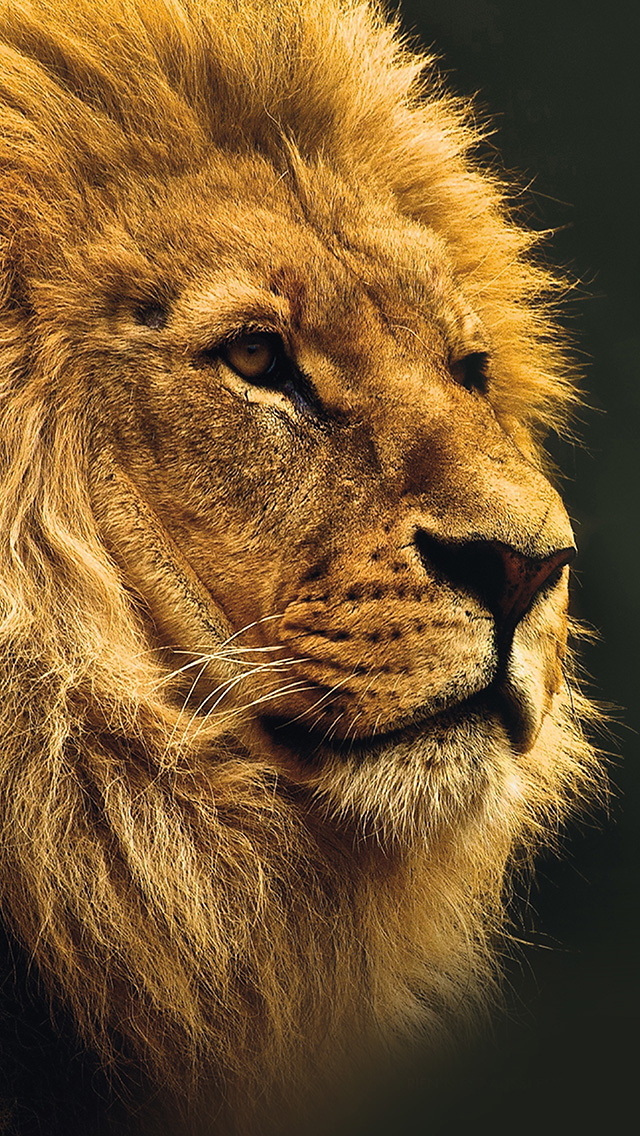 freeios8.com-iphone-4-5-6-plus-ipad-ios8-mu49-national-geographic-nature-animal-lion-yellow