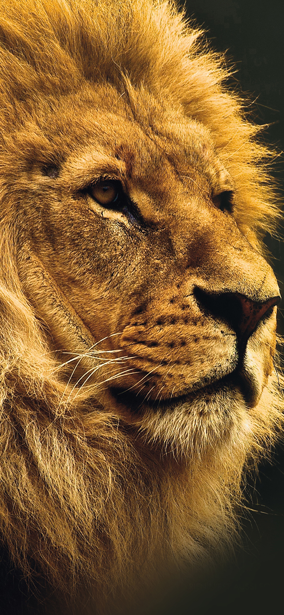 iPhoneXpapers.com-Apple-iPhone-wallpaper-mu49-national-geographic-nature-animal-lion-yellow