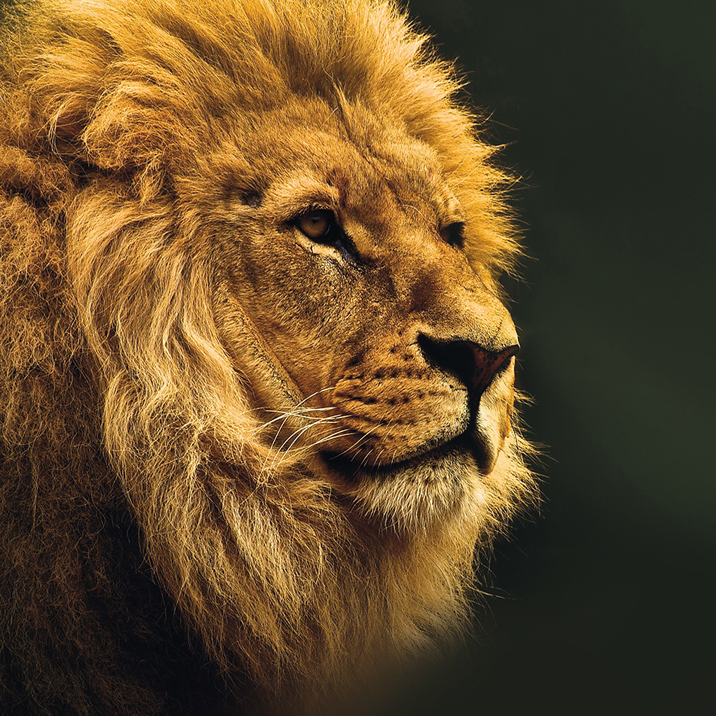 android-wallpaper-mu49-national-geographic-nature-animal-lion-yellow-wallpaper