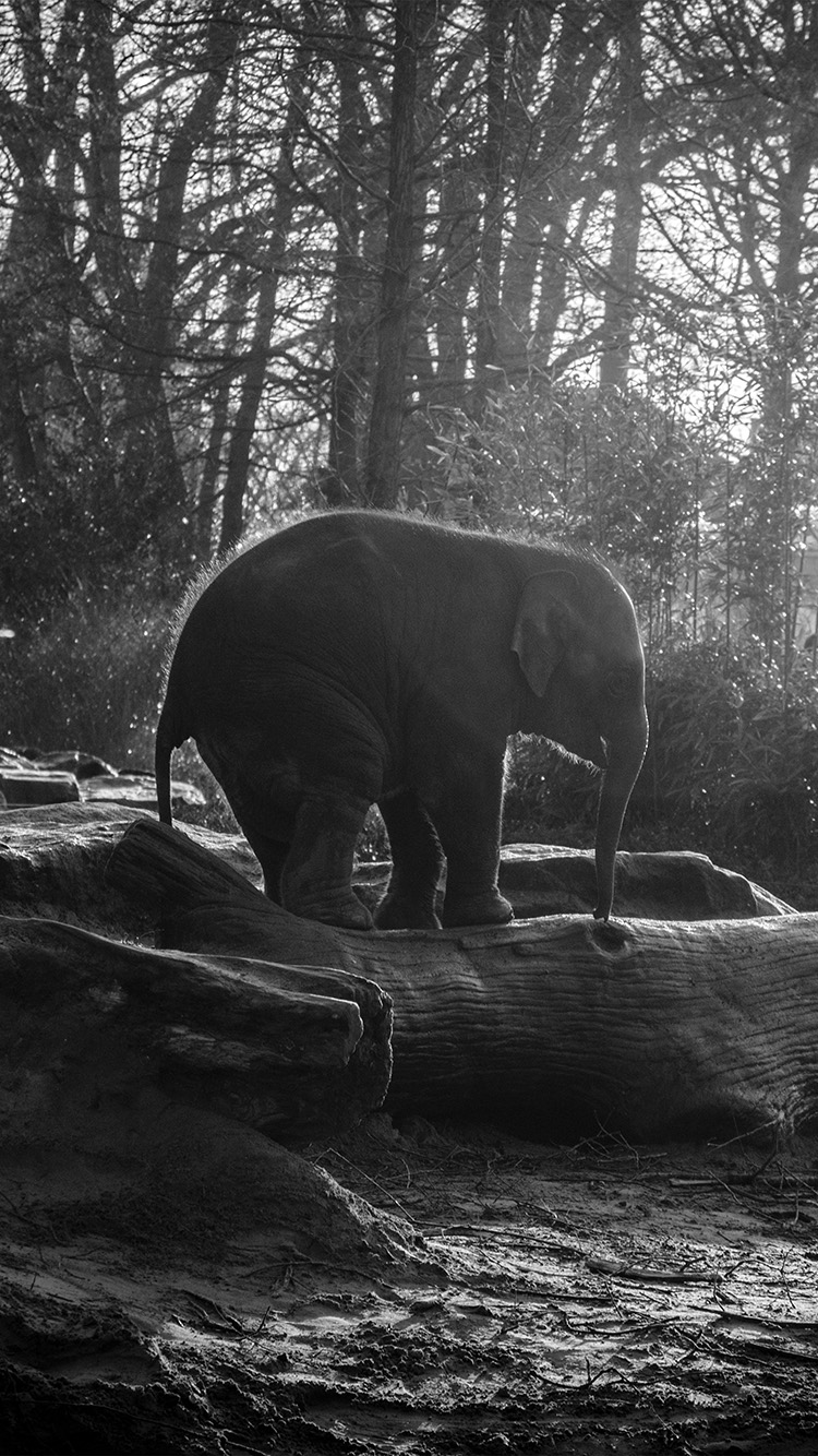iPhonepapers.com-Apple-iPhone8-wallpaper-mw67-elephant-dark-bw-animal-cute-nature-baby