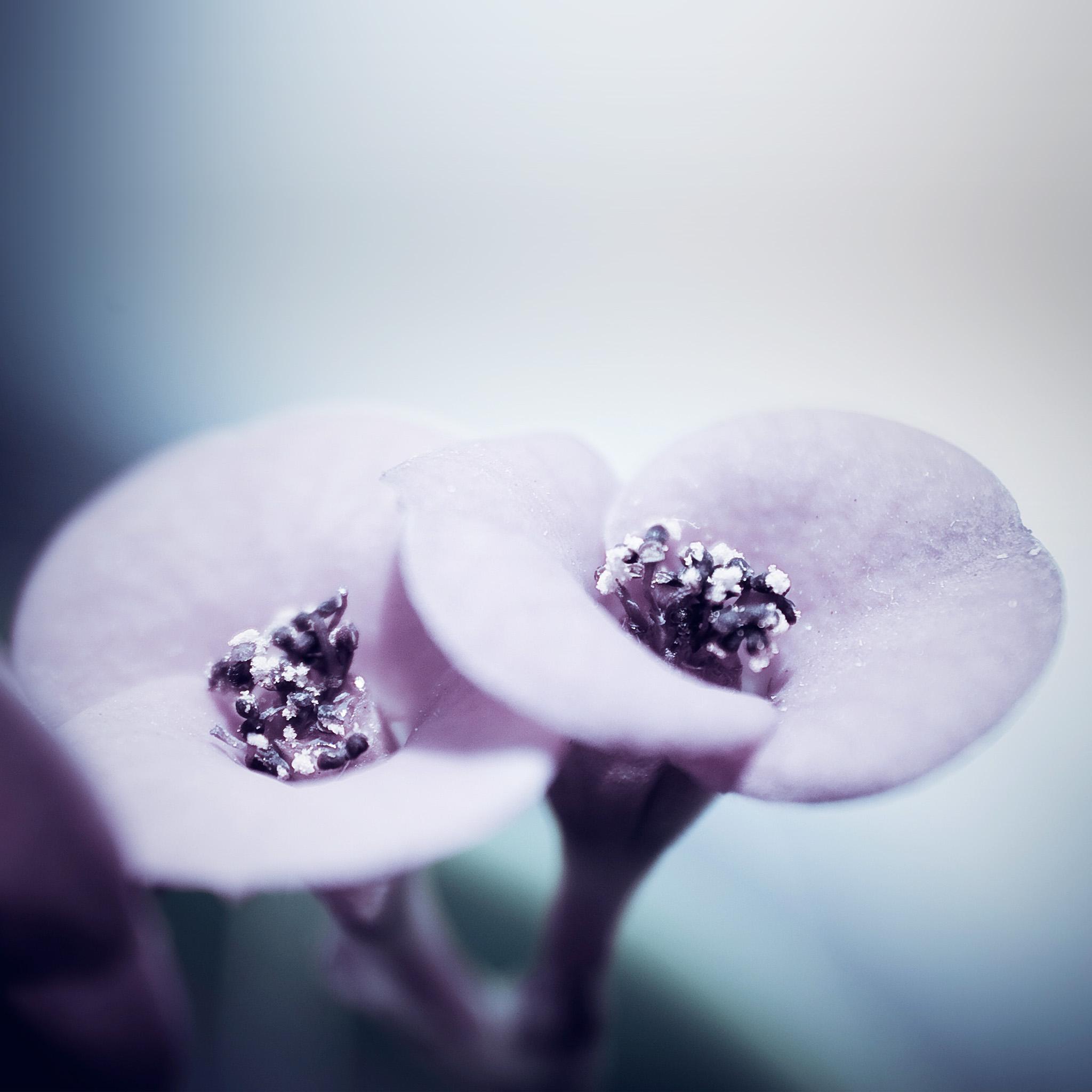 Mw87-flower-blue-purple