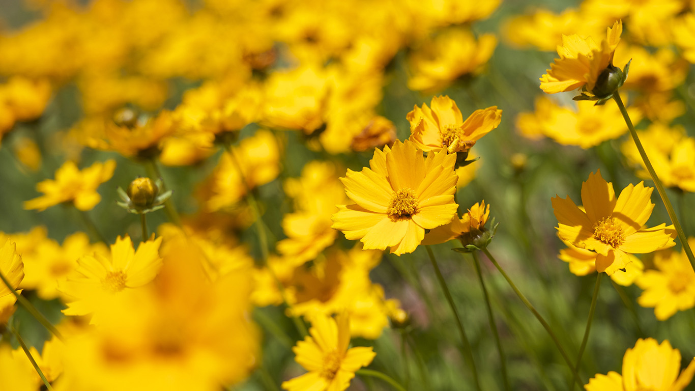 desktop-wallpaper-laptop-mac-macbook-air-mw99-flower-yellow-zoom-bokeh-summer-delight-wallpaper