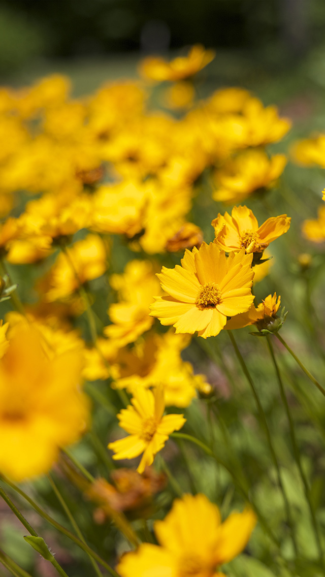 freeios8.com-iphone-4-5-6-plus-ipad-ios8-mw99-flower-yellow-zoom-bokeh-summer-delight