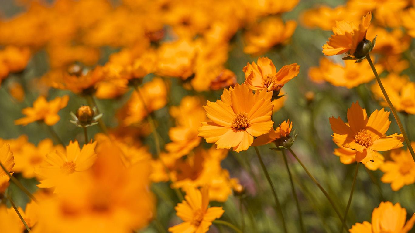 desktop-wallpaper-laptop-mac-macbook-airmx00-flower-orange-zoom-bokeh-summer-delight-wallpaper