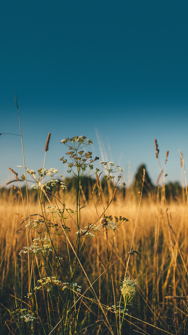 Papers.co-iPhone5-iphone6-plus-wallpaper-mx03-fall-field-nature-flower-reed-sunny