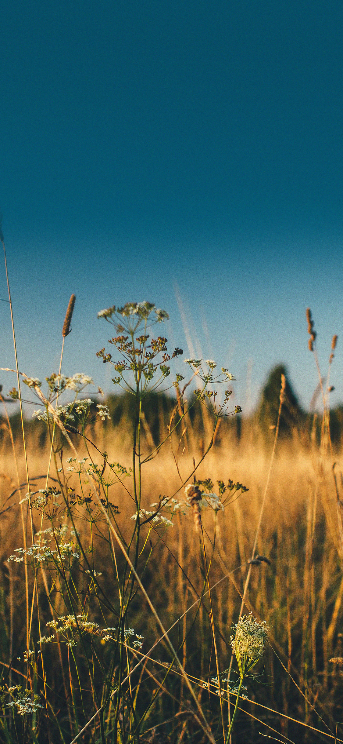 iPhoneXpapers.com-Apple-iPhone-wallpaper-mx03-fall-field-nature-flower-reed-sunny