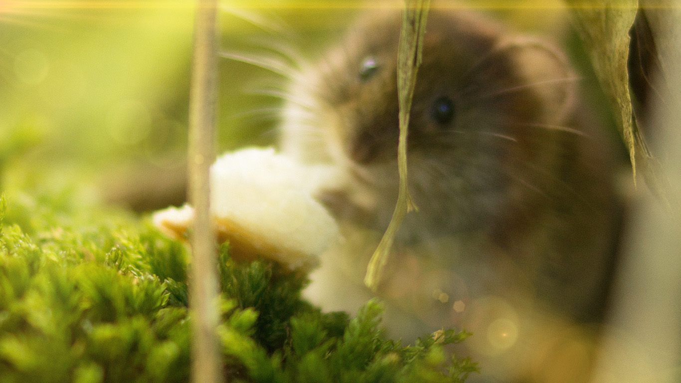 desktop-wallpaper-laptop-mac-macbook-air-mx63-cute-mouse-animal-nature-flare-wallpaper