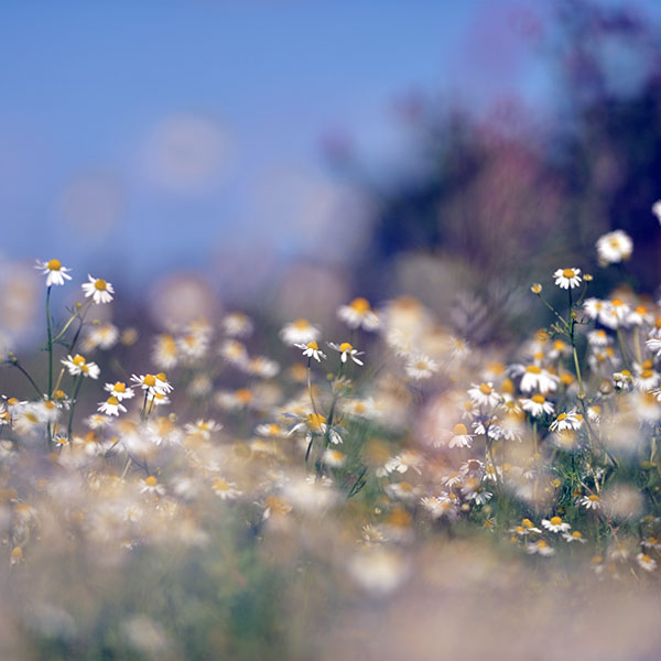 iPapers.co-Apple-iPhone-iPad-Macbook-iMac-wallpaper-mx65-flower-bokeh-white-spring-nature-blue-wallpaper