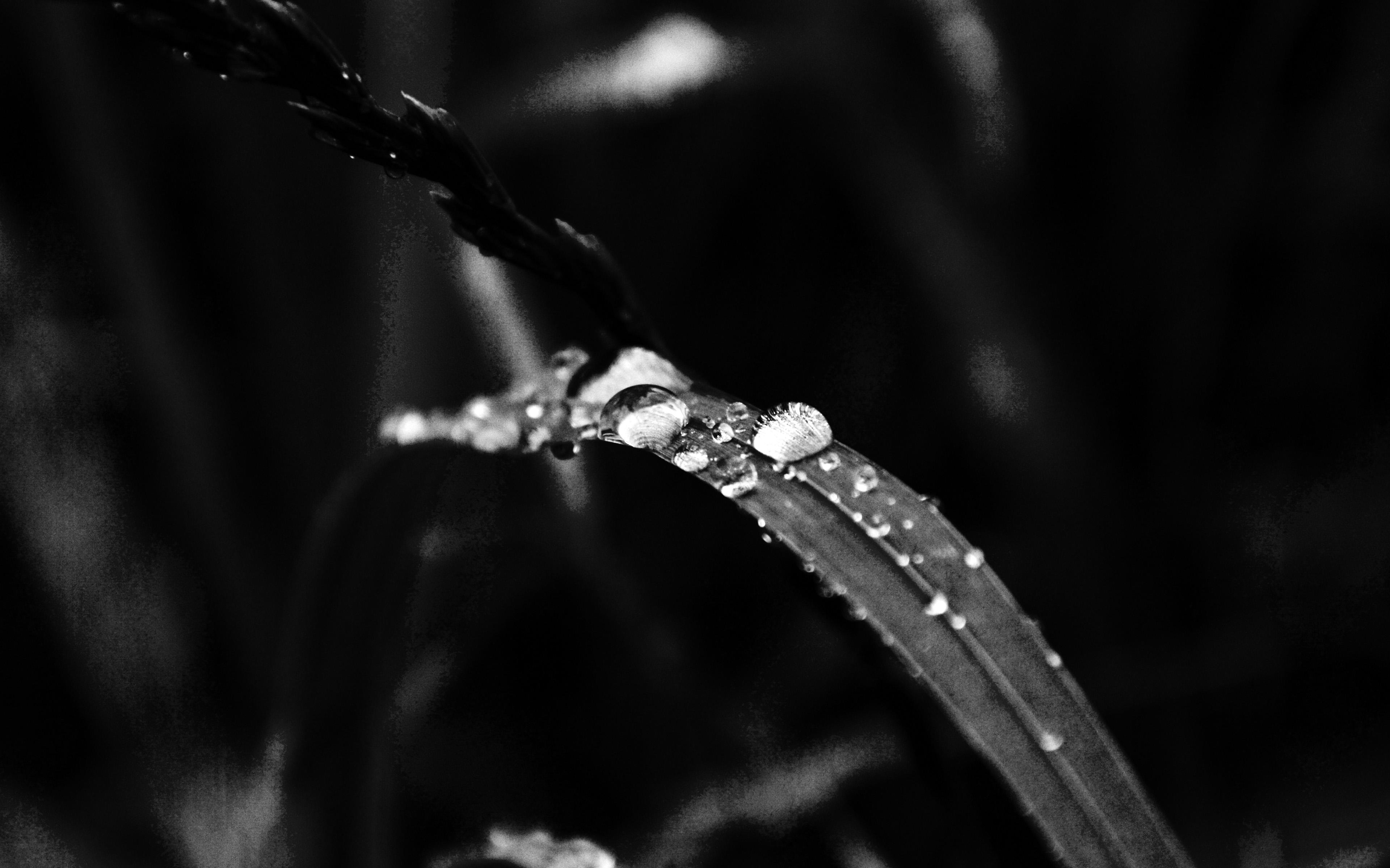My38 Grass Drop Water Rain Nature Forest Dark Bw Wallpaper